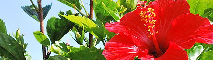 沖縄 ハイビスカス 自然の素材